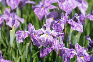 ハナショウブの花の写真素材 [FYI03003266]