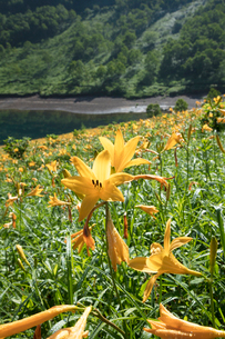 ニッコウキスゲの花の写真素材 [FYI03003286]