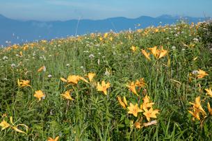 ニッコウキスゲの花畑の写真素材 [FYI03003289]
