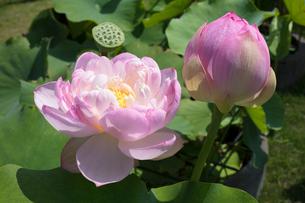 ハスの花の写真素材 [FYI03003291]