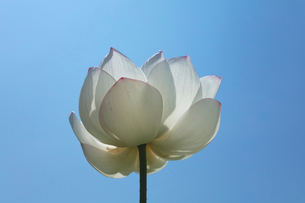 ハスの花の写真素材 [FYI03003293]