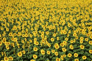 ヒマワリの花畑の写真素材 [FYI03003301]