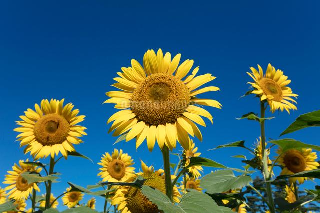 ヒマワリの花の写真素材 [FYI03003304]