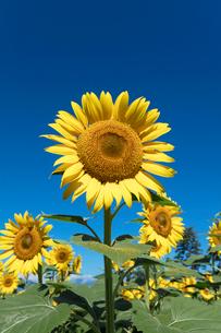 ヒマワリの花の写真素材 [FYI03003306]