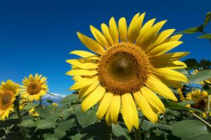 ヒマワリの花の写真素材 [FYI03003309]