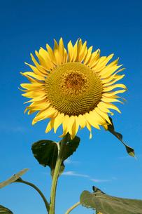 ヒマワリの花の写真素材 [FYI03003312]
