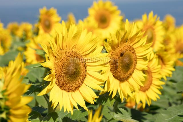 ヒマワリの花畑の写真素材 [FYI03003314]