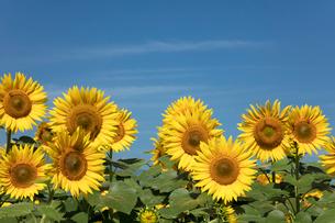 ヒマワリの花畑の写真素材 [FYI03003319]