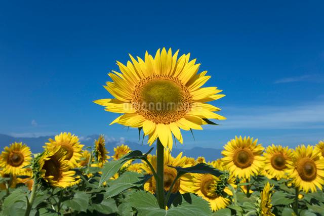 ヒマワリの花の写真素材 [FYI03003320]