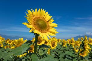 ヒマワリの花の写真素材 [FYI03003321]