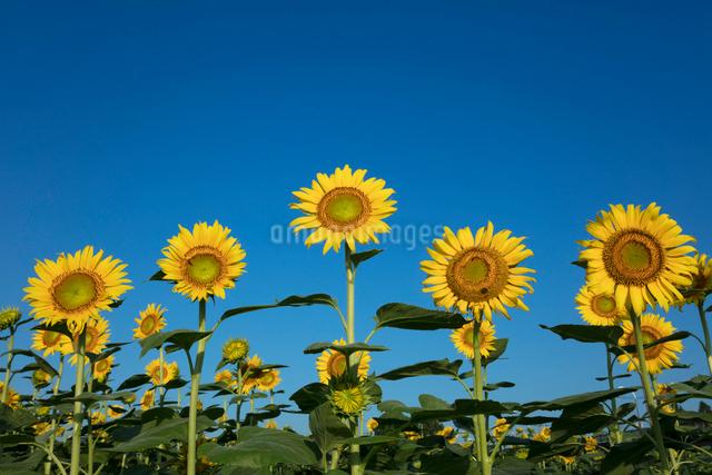 ヒマワリの花の写真素材 [FYI03003329]