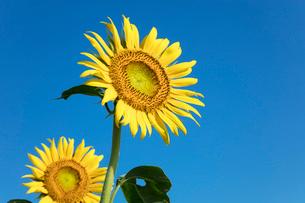 ヒマワリの花の写真素材 [FYI03003330]