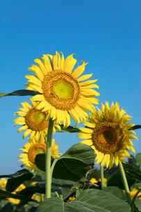 ヒマワリの花の写真素材 [FYI03003331]