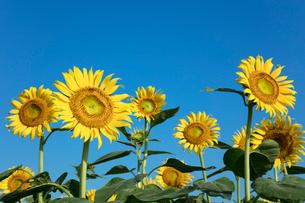 ヒマワリの花の写真素材 [FYI03003332]
