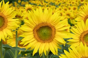 ヒマワリの花畑の写真素材 [FYI03003336]