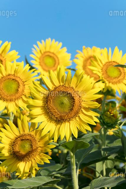 ヒマワリの花畑の写真素材 [FYI03003337]