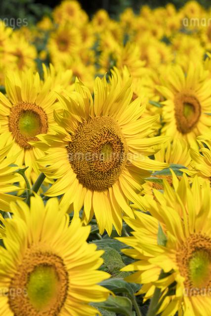 ヒマワリの花畑の写真素材 [FYI03003343]
