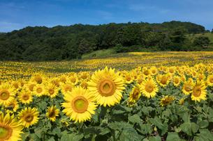 ヒマワリの花畑の写真素材 [FYI03003345]