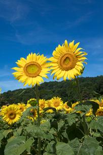 ヒマワリの花畑の写真素材 [FYI03003347]