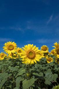 ヒマワリの花畑の写真素材 [FYI03003348]