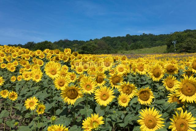 ヒマワリの花畑の写真素材 [FYI03003349]