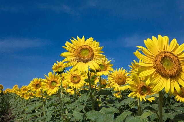 ヒマワリの花畑の写真素材 [FYI03003350]