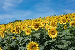 ヒマワリの花畑の写真素材 [FYI03003351]