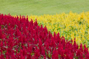 ケイトウの花畑の写真素材 [FYI03003372]