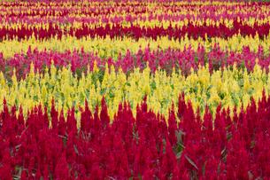 ケイトウの花畑の写真素材 [FYI03003377]