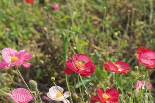 春の訪れ ポピーとミツバチの写真素材 [FYI03003399]