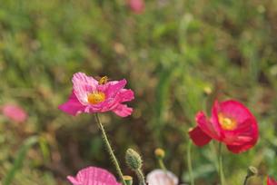 春の訪れ ポピーとミツバチの写真素材 [FYI03003400]