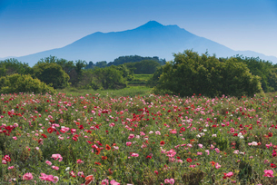 日本百名山の筑波山とポピー畑の写真素材 [FYI03003404]