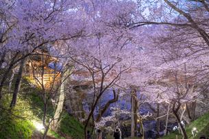 高遠城址公園のタカトウコヒガンザクラ夜景の写真素材 [FYI03003519]