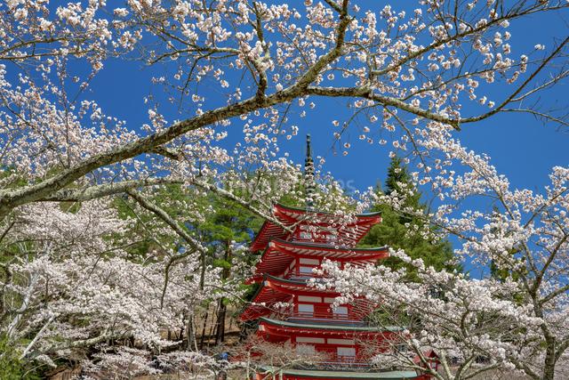 桜咲く忠霊塔の五重の塔の写真素材 [FYI03003533]