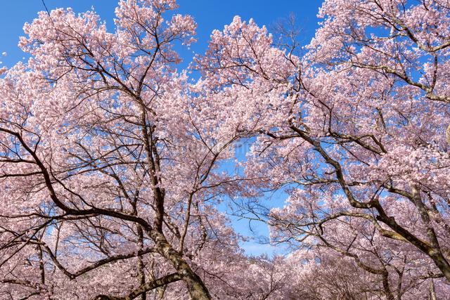 高遠城址公園のタカトウコヒガンザクラの写真素材 [FYI03003538]