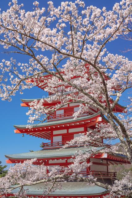 忠霊塔の五重の塔と桜の写真素材 [FYI03003545]