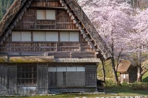 白川郷の合掌造り民家と桜の写真素材 [FYI03003556]
