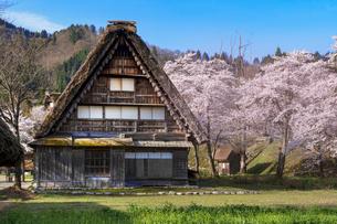 白川郷の合掌造り民家と桜の写真素材 [FYI03003557]