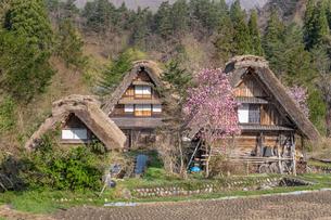 春の白川郷の合掌造り民家と桜の写真素材 [FYI03003563]