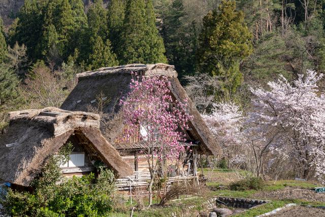 春の白川郷の合掌造り民家と桜の写真素材 [FYI03003564]