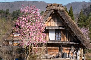 春の白川郷の合掌造り民家の写真素材 [FYI03003568]