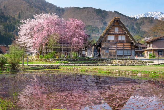 春の白川郷の合掌造り民家と桜の写真素材 [FYI03003575]