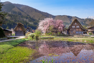春の白川郷の合掌造り民家と桜の写真素材 [FYI03003576]