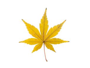 黄葉したカエデの葉の写真素材 [FYI03003692]