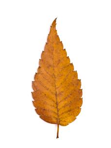 黄葉したケヤキの葉の写真素材 [FYI03003701]