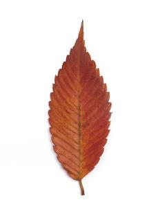 黄葉したケヤキの葉の写真素材 [FYI03003702]