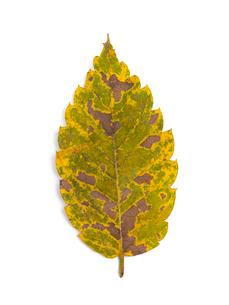 黄葉したケヤキの葉の写真素材 [FYI03003713]