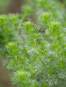 薬用植物 カワラヨモギの写真素材 [FYI03003727]