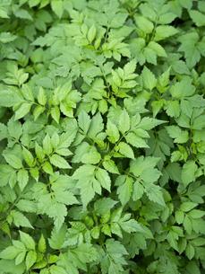 薬用植物 センダングサの写真素材 [FYI03003744]