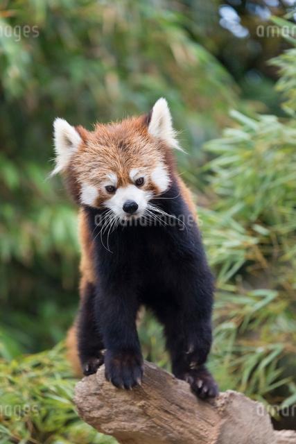 レッサーパンダの写真素材 [FYI03004235]